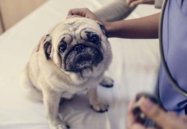 Trzecia powieka u psa - objawy i specjalistyczne leczenie